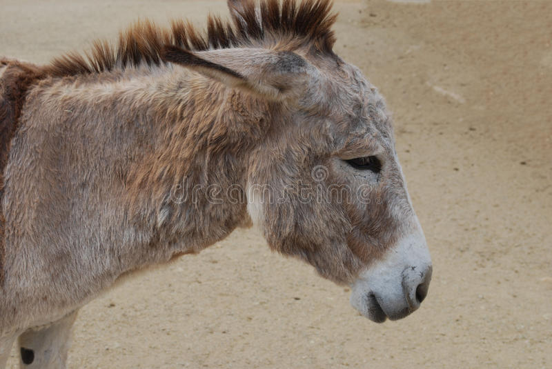 Up Close and Personal with a Wild Donkey stock images