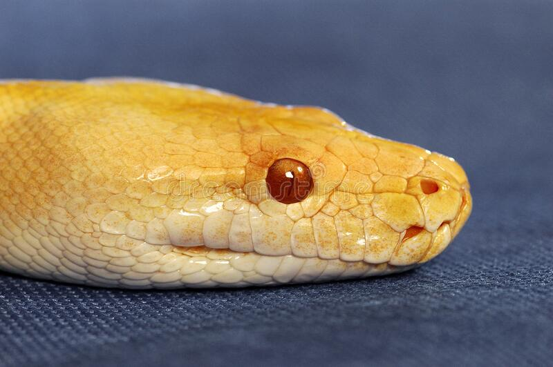A yellow snake with red eyes. An up-close picture of a yellow snake with red eyes royalty free stock photo