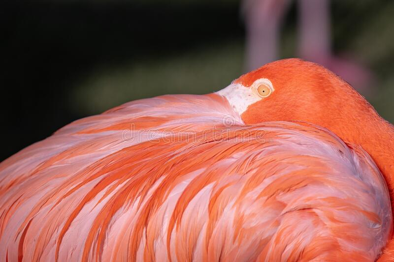 Up close portrait of a pink flamingo. Hiding his beak in a feathers on a back stock photography