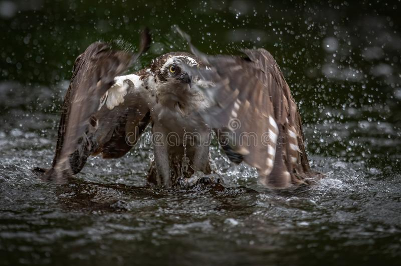 Up Close Shot of Osprey Catching a Fish stock images