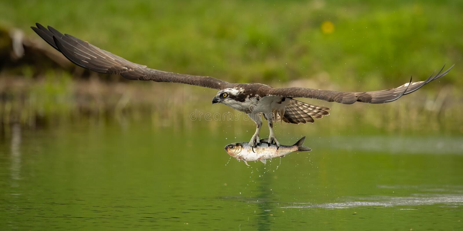 Up Close Shot of Osprey Catching a Fish royalty free stock images