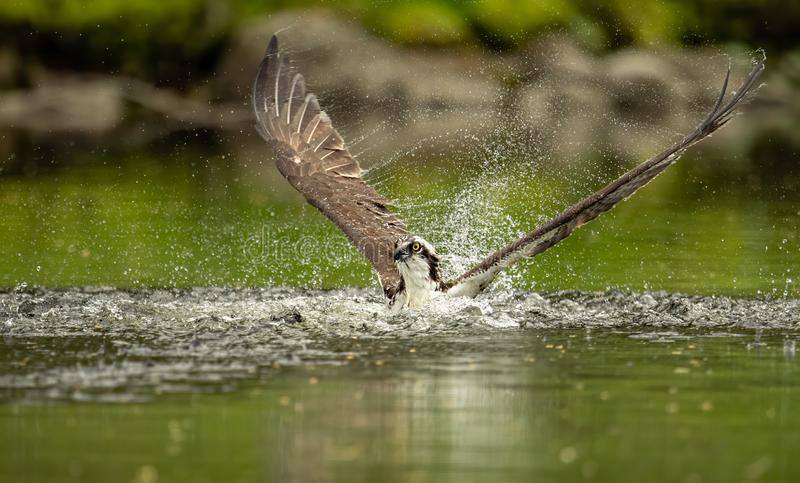 Up Close Shot of Osprey Catching a Fish royalty free stock image