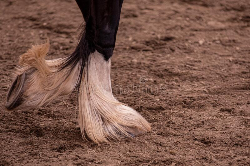 Up close shot of a pairs of horse frontal legs. stock images