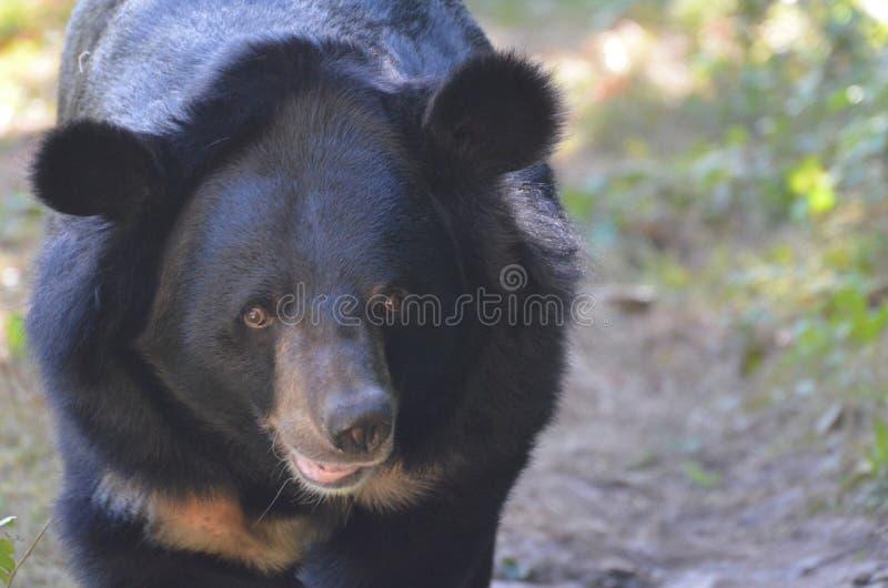 Up Close with a Sun Bear`s Face stock image