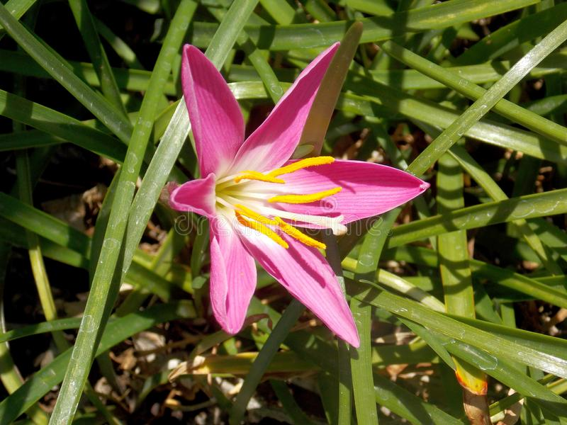 Up close and to the side Pollen-laden colorful `Mexican Lily` in vivid Magenta, wide open and pointing to the Sun. royalty free stock images