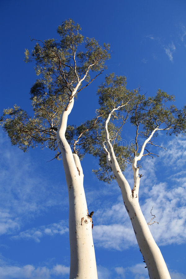 Up a Gum Tree royalty free stock photography