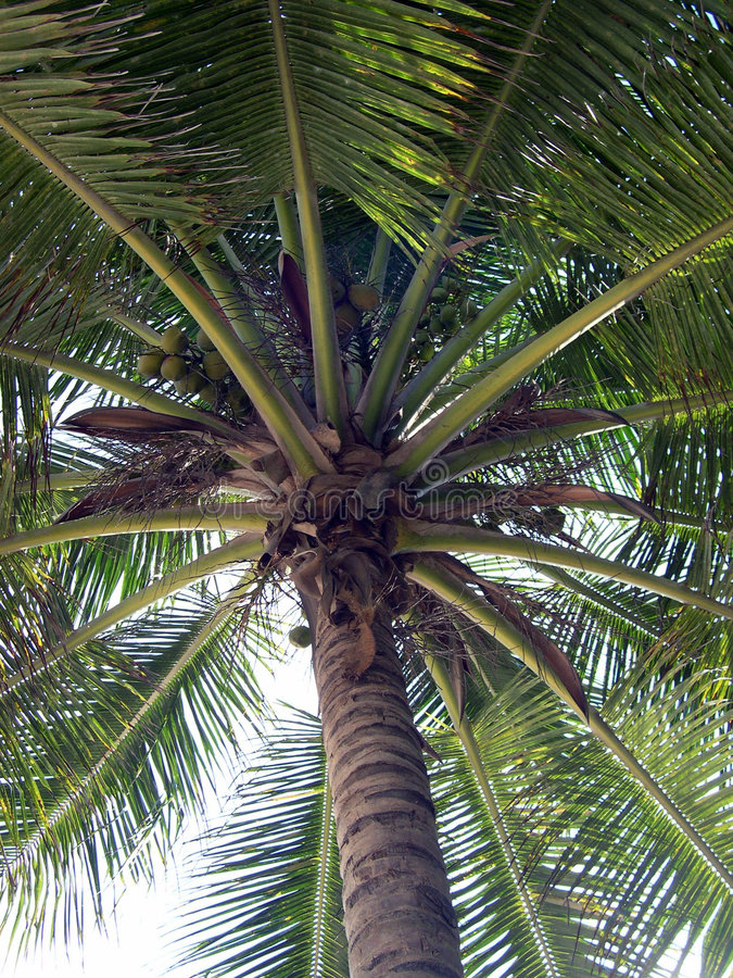 Up at a Palm Tree stock image