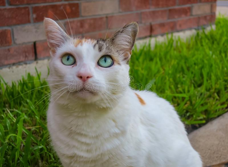 Green eyed cat looking up royalty free stock photo