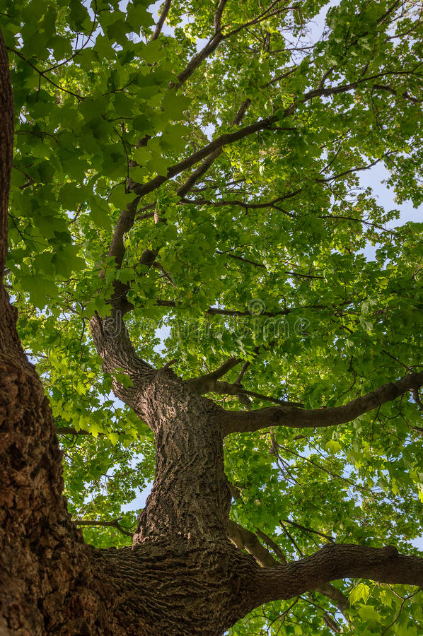 Download Up and Up Oak Tree stock photo. Image of spring, canopy - 33268332