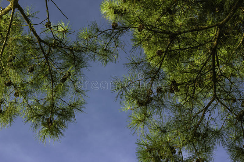 Up view of pine trees and clear blue sky with pine cones clearly visible stock photos