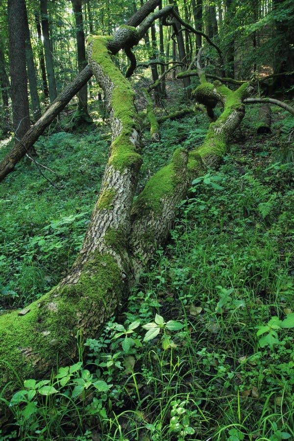 Upadłe i rozbite pnie drzew pokryte mchem, Rezerwat Przyrody Cisowa, Gdynia obraz stock