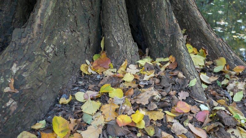 Upadłe Liście Pod Drzewem Na Lakeside Jesienią fotografia royalty free