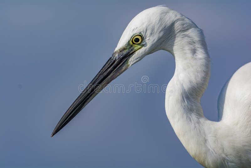 Upclose:在天空蔚蓝背景-白鹭属garzetta的小白鹭 免版税库存照片