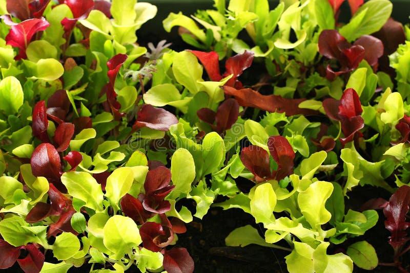 Upclose de Microgreens fotos de stock