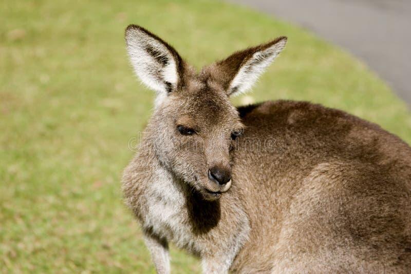 upclose kangura fotografia stock