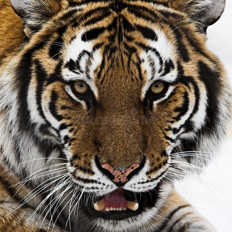upclose strzału głowę tygrysa fotografia royalty free