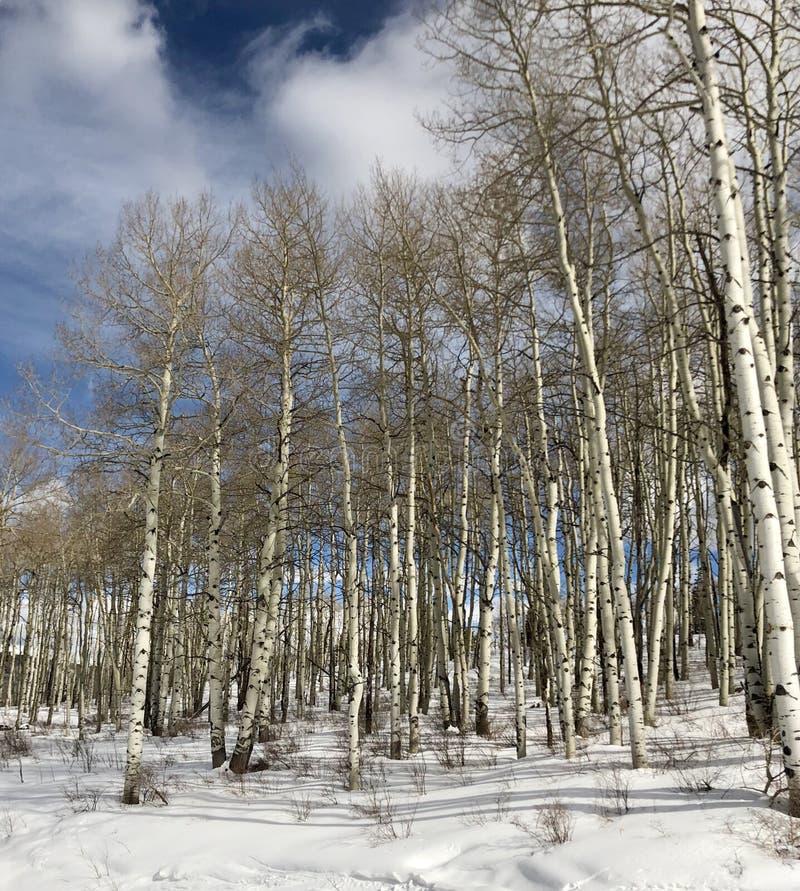 Upclosemening van Aspen Trees royalty-vrije stock afbeelding