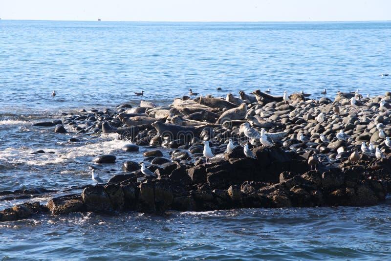 Upierścieniony foki rookery na skalistej rafie półwysep kamczatka obrazy royalty free