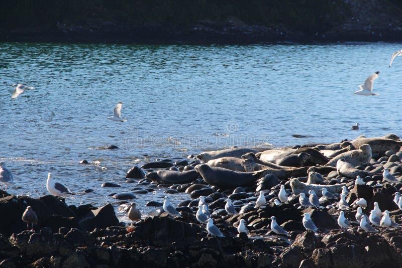 Upierścieniony foki rookery na skalistej rafie półwysep kamczatka obraz stock