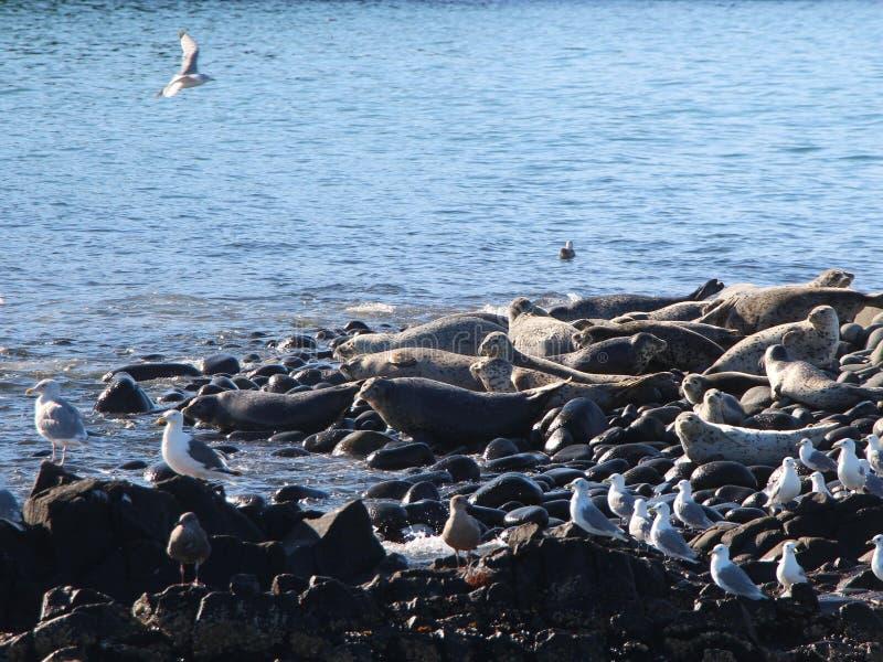 Upierścieniony foki rookery na skalistej rafie półwysep kamczatka zdjęcia royalty free