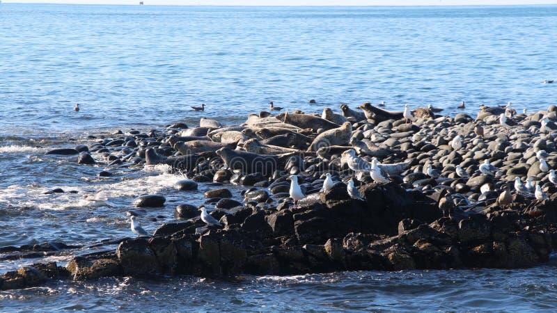 Upierścieniony foki rookery na skalistej rafie półwysep kamczatka fotografia royalty free
