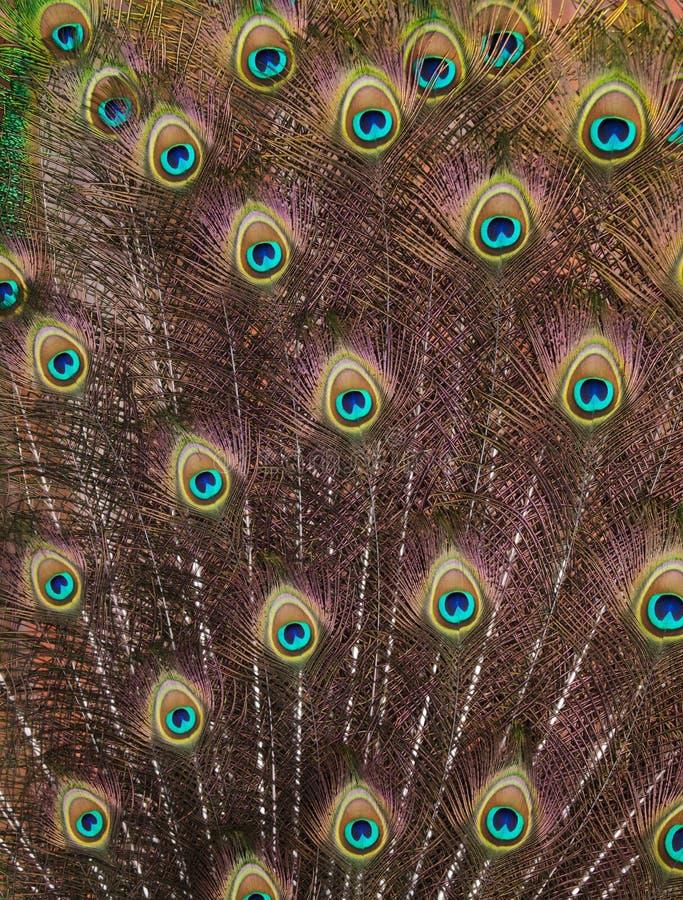 Upierzenie Indiański peafowl Pavo cristatus zdjęcia stock