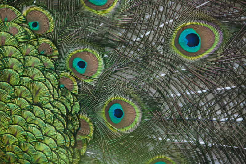 Upierzenie Indiański peafowl (Pavo cristatus) obrazy stock