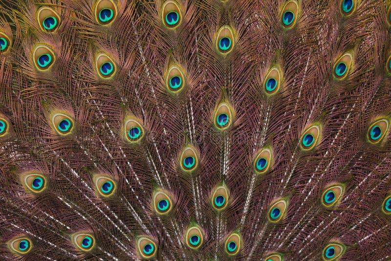 Upierzenie Indiański peafowl Pavo cristatus obraz stock