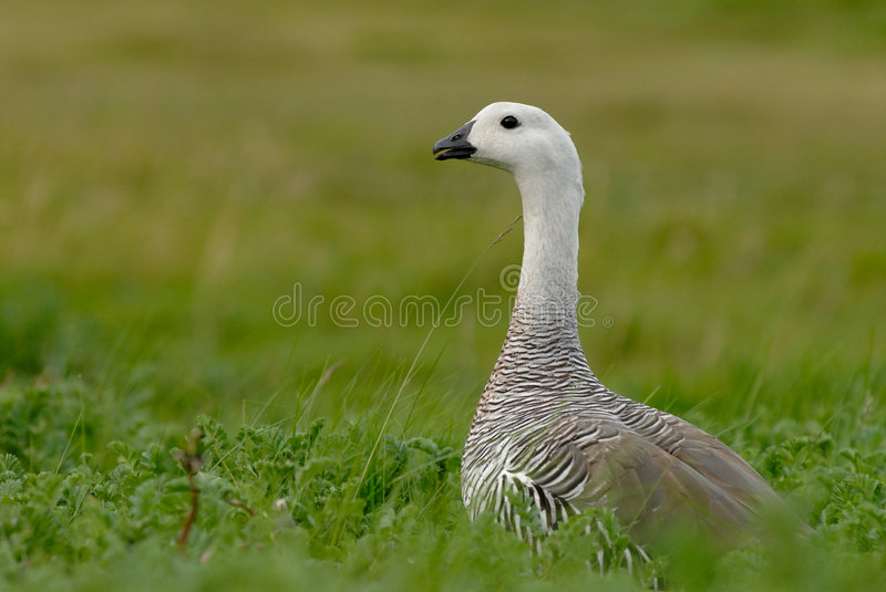 Download Upland Goose in Patagonia stock photo. Image of bird, colour - 8223274