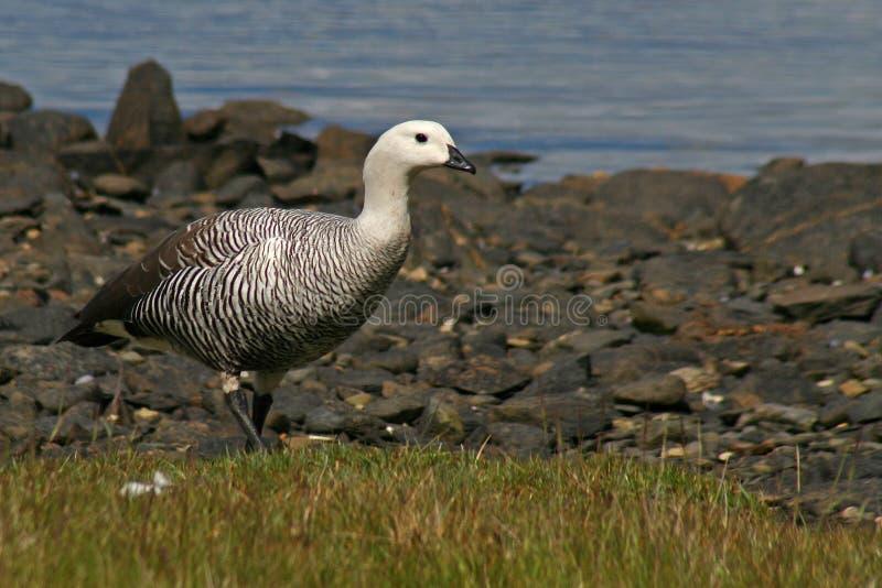 Download Upland Goose, Tierra Del Fuego, Argentina Royalty Free Stock Photos - Image: 11283018