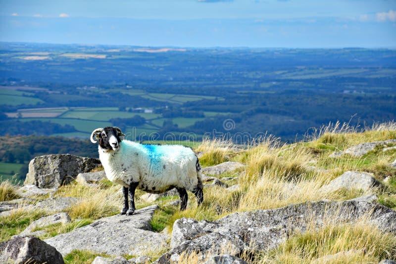 Upland sheep on Dartmoor, England. Hardy upland sheepo on the open moor of Dartmoor, Devon, England stock image