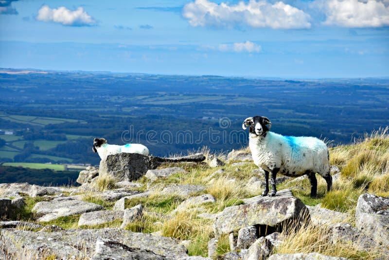 Upland sheep on Dartmoor, England. Hardy upland sheep on the open moor of Dartmoor, Devon, England royalty free stock photography