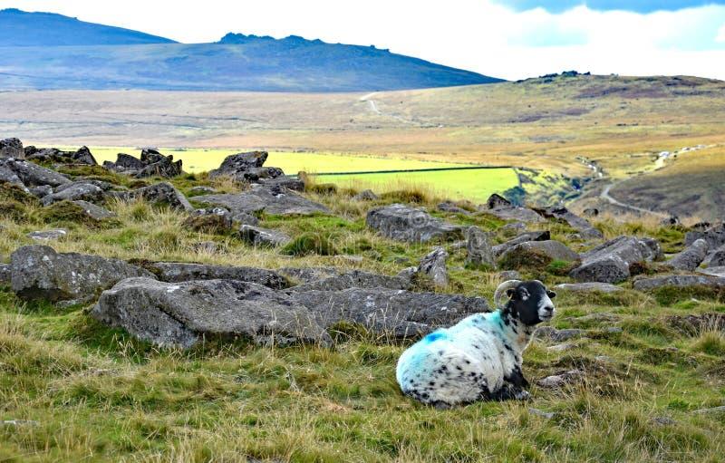 Upland sheep on Dartmoor, England. Hardy upland sheep on the open moor of Dartmoor, Devon, England stock photography