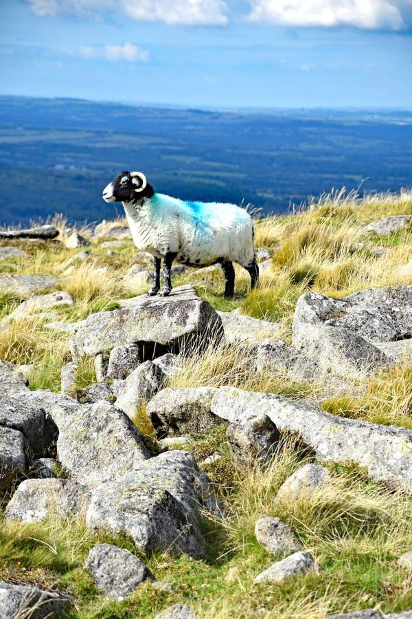 Upland sheep on Dartmoor, England. Hardy upland sheep on the open moors of Dartmoor, Devon, England royalty free stock image