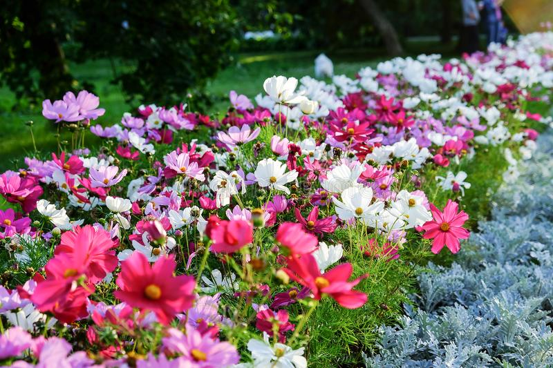 Uplifting colorful Cosmos flowers under the cheerful sunlight. Popular decorative plant for landscaping of public and private recr stock photo