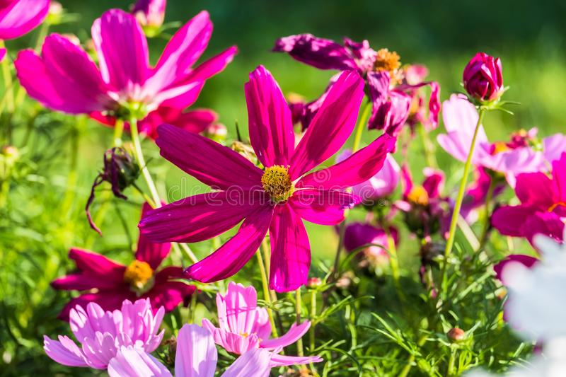 Uplifting colorful Cosmos flowers under the cheerful sunlight. Popular decorative plant for landscaping of public and private recr stock photos