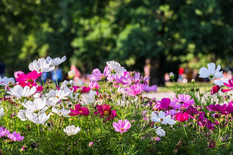 Uplifting colorful Cosmos flowers under the cheerful sunlight. Popular decorative plant for landscaping of public and private recr royalty free stock photography