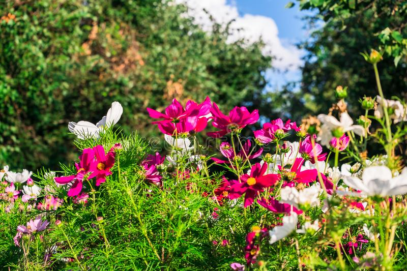 Uplifting colorful Cosmos flowers under the cheerful sunlight. Popular decorative plant for landscaping of public and private recr stock photography