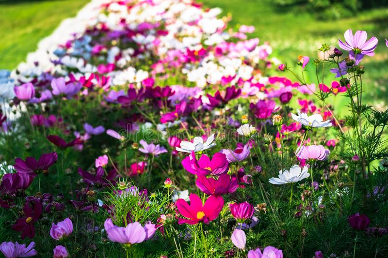 Uplifting colorful Cosmos flowers under the cheerful sunlight. Popular decorative plant for landscaping of public and private recr royalty free stock image