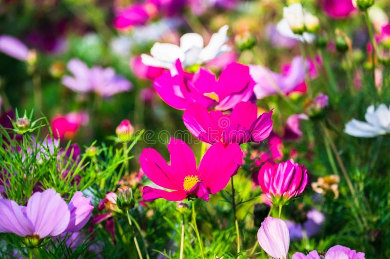 Uplifting colorful Cosmos flowers under the cheerful sunlight. Popular decorative plant for landscaping of public and private recr royalty free stock photo