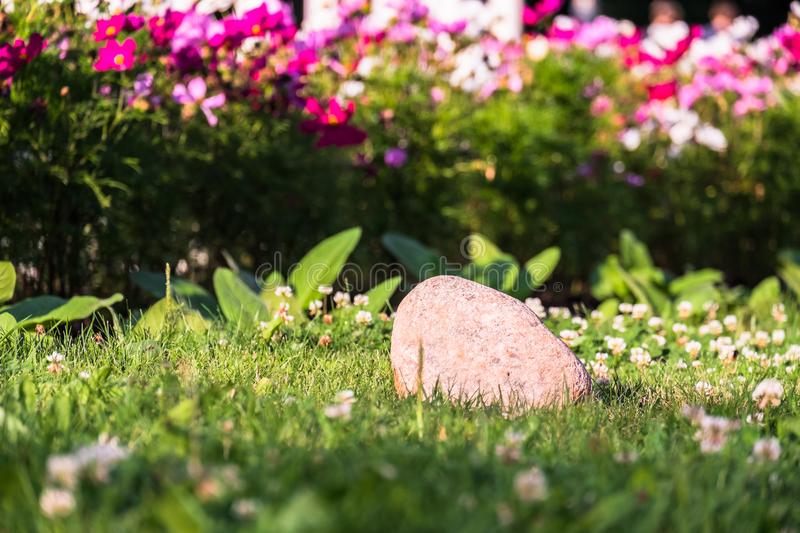 Uplifting colorful Cosmos flowers under the cheerful sunlight. Popular decorative plant for landscaping of public and private recr royalty free stock photos