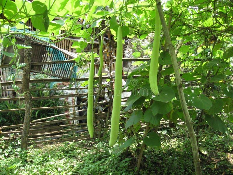 Upo ou fruits de tabayag dans un jardin près de ville de Lipa, Philippines image libre de droits