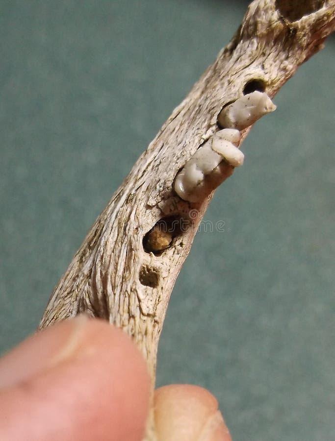 Uppåtriktad liten däggdjurs- käke som vänds royaltyfri fotografi