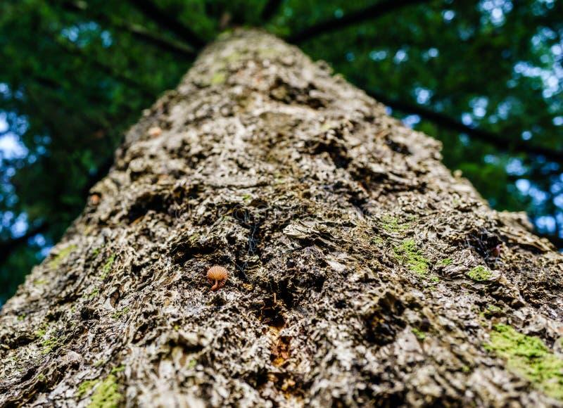 Uppåtriktad närbildsikt på kronan för brunt för sörjaträd arkivbilder