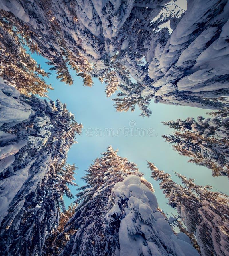 Uppåtriktad sikt av himlen i snöig skog royaltyfria foton