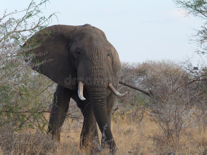 Upp nära elefant arkivbilder