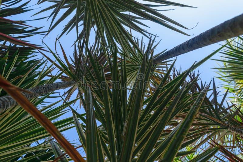 Upp sikt från jordningen av den gråa palmträdstammen och gröna sidor i bakgrund för blå himmel arkivbild