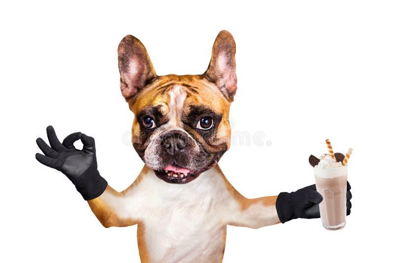 Uppassaren f?r den franska bulldoggen f?r den roliga hunden rymmer visar den ljust r?dbrun en milkshake i ett exponeringsglas och royaltyfri fotografi