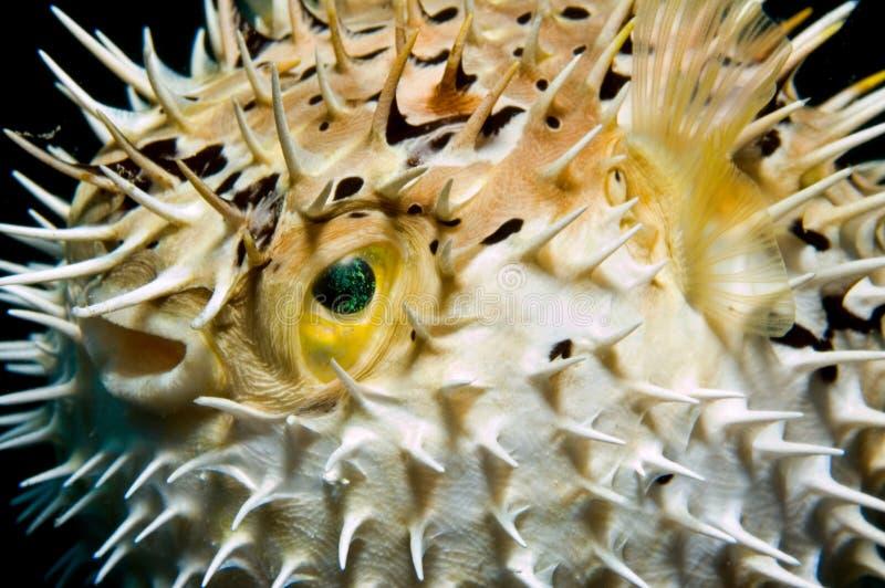 uppblåst balloonfish arkivfoton
