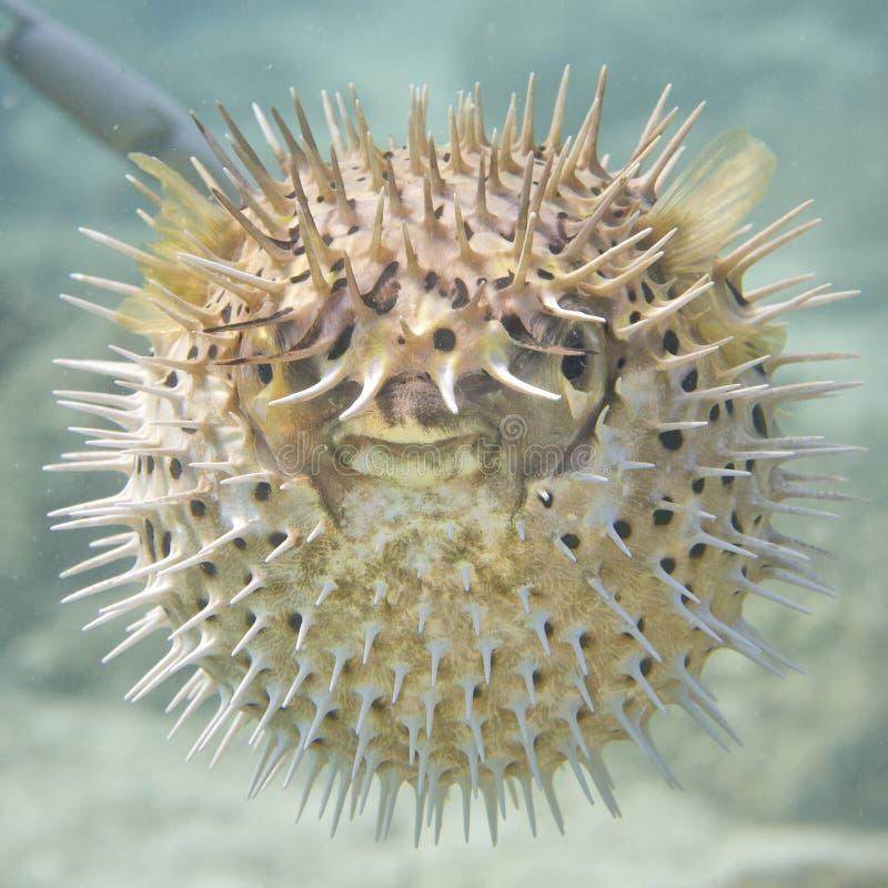 Uppblåst fisk för ett piggsvinboll royaltyfria bilder